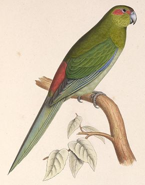 Description de l'image  Cyanoramphus zealandicus 1849.jpg.