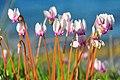 Cyclamen hederifolium var. confusum.jpg