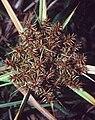 Cyperus erythrorhizos NRCS-0.jpg