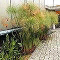 Cyperus papyrus (plant)-Quito Botanical gardens-Ecuador.jpg