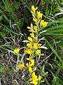 Cytisus procumbens sl18.jpg