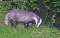 Däggdjur Mammals (23405447135).jpg