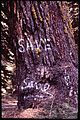 DISCOVERY OF A GOLDEN EAGLE'S NEST IN THIS TREE PROMPTED THE SOUTHERN CALIFORNIA EDISON COMPANY TO - NARA - 542715.jpg