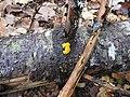 Dacrymyces chrysospermus Specimen.jpg