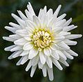 Dahlia White Perfection Tas 1.jpg