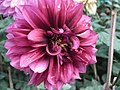 Dahlia from lalbagh 1929.JPG