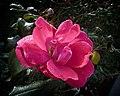 Damp Rose (6655293143).jpg