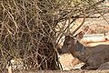 Deer - Vandalur Zoo.jpg