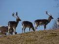 Deer in Petworth Park - closeup.jpg
