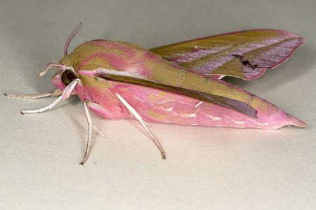 Deilephila elpenor03(js).jpg