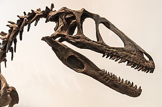 Deinonychus - Reconstructed skull and neck, Royal Ontario Museum