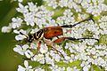 Delta Flower Scarab - Trigonopeltastes delta, Julie Metz Wetlands, Woodbridge, Virginia.jpg