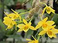 Dendrobium senile-IMG 2130.jpg