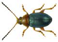 Derocrepis rufipes (Linné, 1758) (6065475574).png