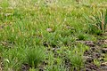 Deschampsia cespitosa - Flickr - aspidoscelis (3).jpg