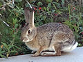 Desert Cottontail in yard 2013-01-04 (4).jpg