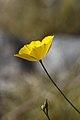 Desert poppy (Eschscholzia glyptosperma).jpg