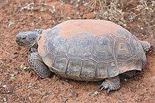 Desert tortoise.jpg