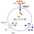 Diagrama actividad de VGluT.tif