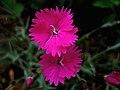 Dianthus - 3.jpg
