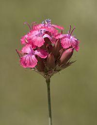 Dianthus calocephalus - Güzel karanfil 05.jpg