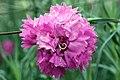 Dianthus caryophyllus Lavender Lace 1zz.jpg