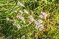 Dianthus hyssopifolius in PNR Pyrenees ariegeoises 01.jpg