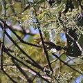 Dicaeum trochileum juvenile.jpg