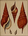 Die Flügelschnecken (Strombea) - in Abbildungen nach der Natur mit Beschreibungen (1845) (20888857476).jpg