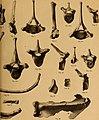 Die Pithecanthropus-Schichten auf Java. Geologische und paläontologische Ergebnisse der Trinil-Expedition (1907 und 1908), ausgeführt mit Unterstützung der Akademischen Jubiläumsstiftung der Stadt (20753769600).jpg
