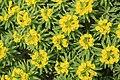 Dingli - Triq Panoramika - Cliffs - Euphorbia dendroides 07 ies.jpg