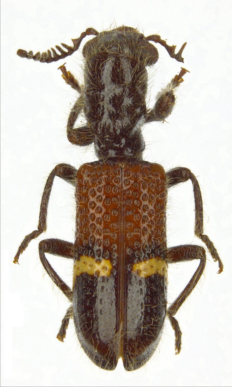 Diplocladus kuwerti