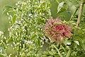 Diplolepis.rosae.7017.jpg