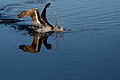 Diving Brown Pelican 2.jpg