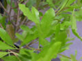Dodonaea viscosa 'Purpurea' Leaves and Stems 3264px.jpg