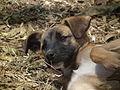 Dog in Tanzania 2466 Nevit.jpg