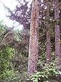 Doruk ağacı - panoramio.jpg