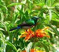 Double-collared sunbird 02 (3514828565).jpg