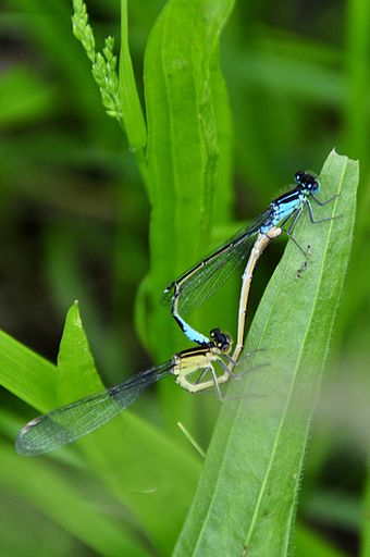 "Damselflies in copulatory ""wheel"" Dragonfly insect pairing.jpg"