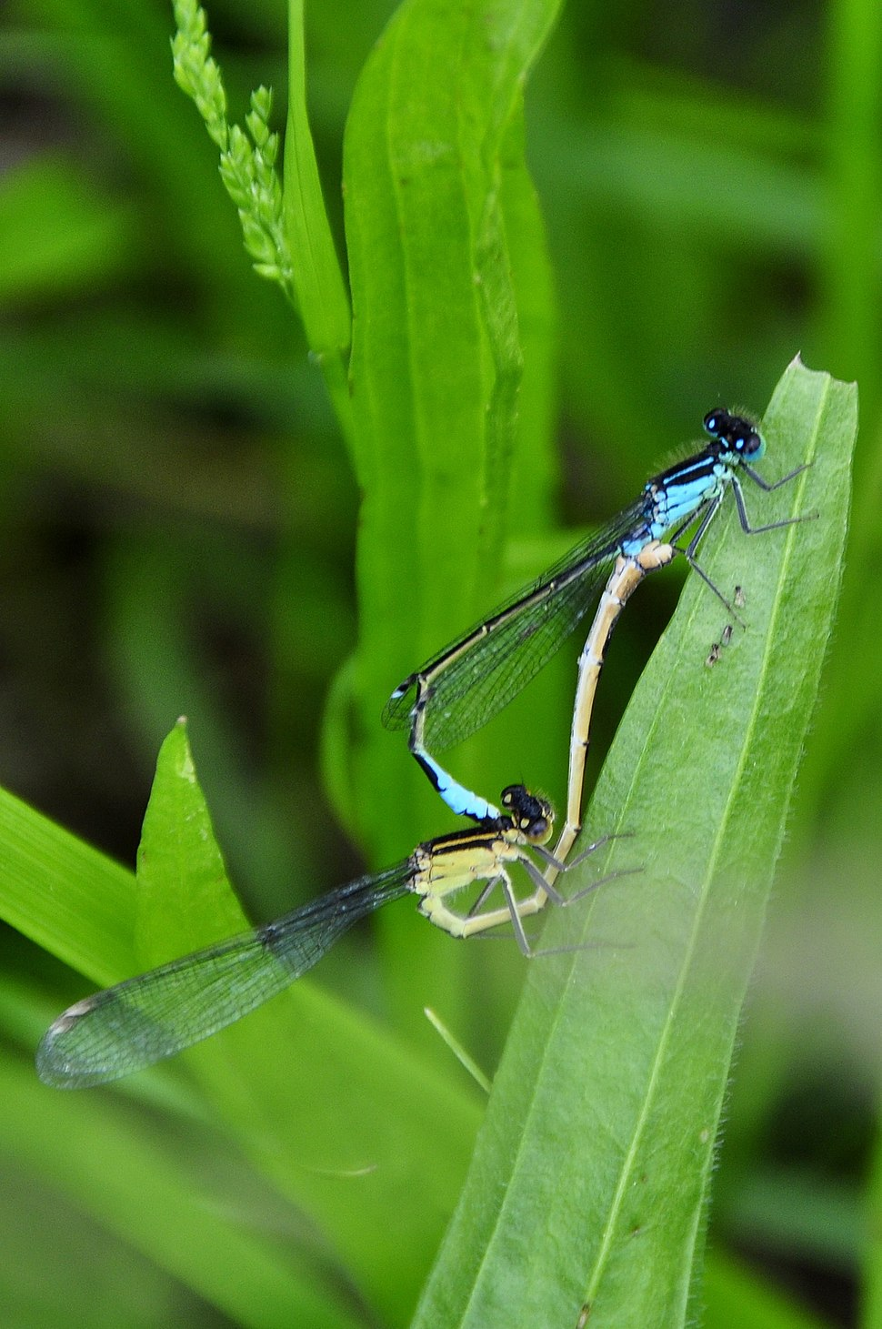 Dragonfly insect pairing
