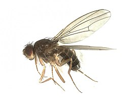 Drosophila funebris (Drosophilidae) - (imago), Arnhem, the Netherlands - 2.jpg