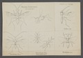 Dryinus - Print - Iconographia Zoologica - Special Collections University of Amsterdam - UBAINV0274 046 16 0002.tif