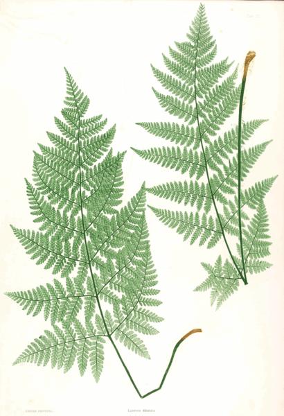 File:Dryopteris dilatata Moore22.png