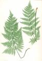 Dryopteris dilatata Moore22.png