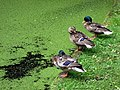 Ducks and duckweed - geograph.org.uk - 871535.jpg