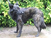 A long-coated Dutch Shepherd