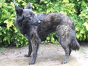 A long-coated Dutch Shepherd