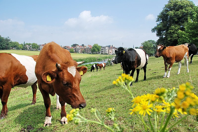 Dutch belted cows at Park Sonsbeek meadows in the centre of the city of Arnhem (look the background) - panoramio.jpg