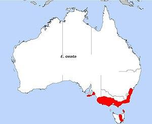 Eucalyptus ovata - Image: E. ovata