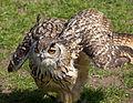 Eagle Owl 2 (5634946277).jpg